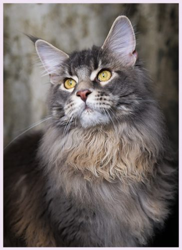 MCO (Maine Coon)