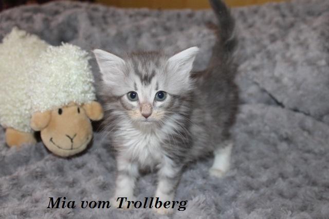 NFO (Norwegische Waldkatze)