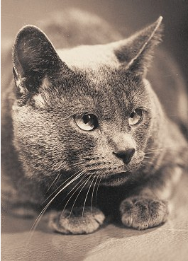 Chartreux Kater 1960