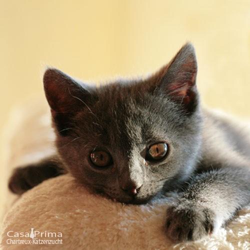 Kitten 12Wo