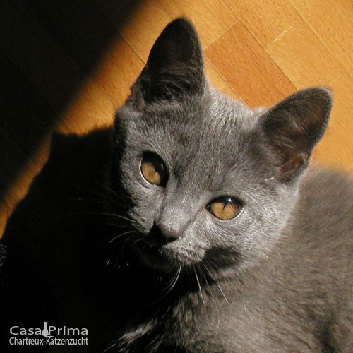 Kitten 16Wo