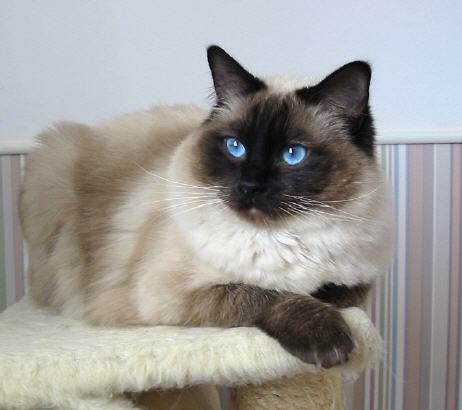 Cream Point Himalayan Cat Pictures